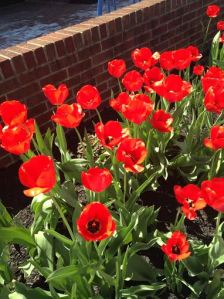 tulips1