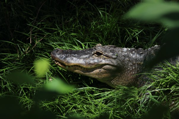 crocodile in the grass